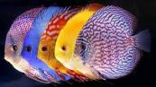 pesce12